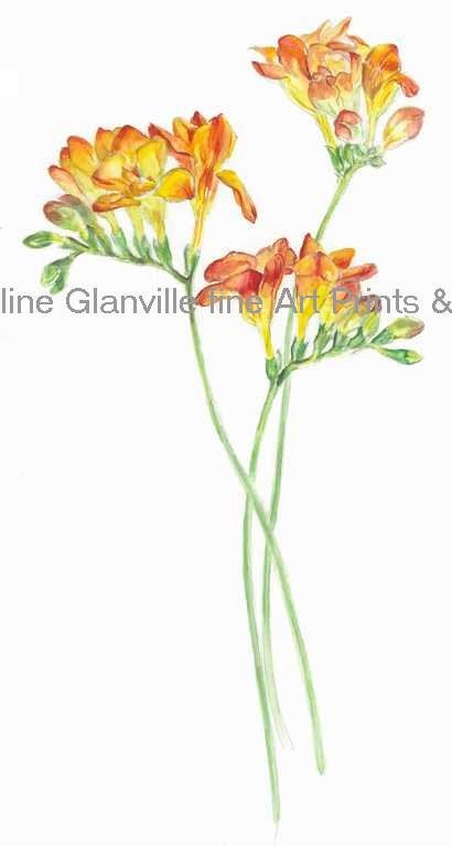 Orange freesia, painting by Caroline Glanville
